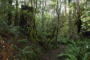 Fern Gully Walk Forrest