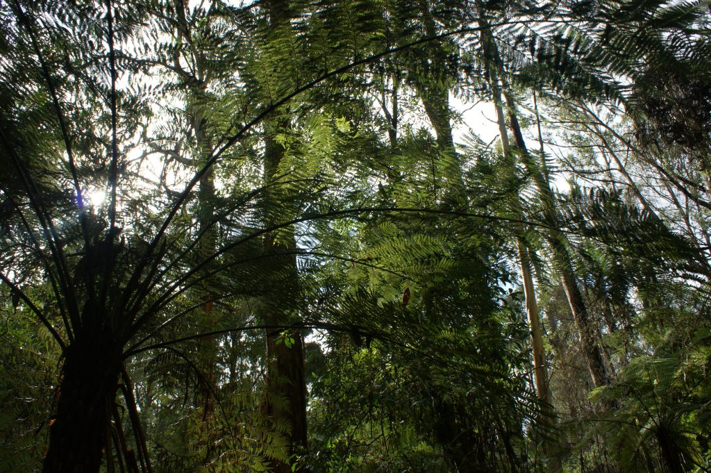 Fern Gully Walk, Tree Ferns, Forrest Accommodation