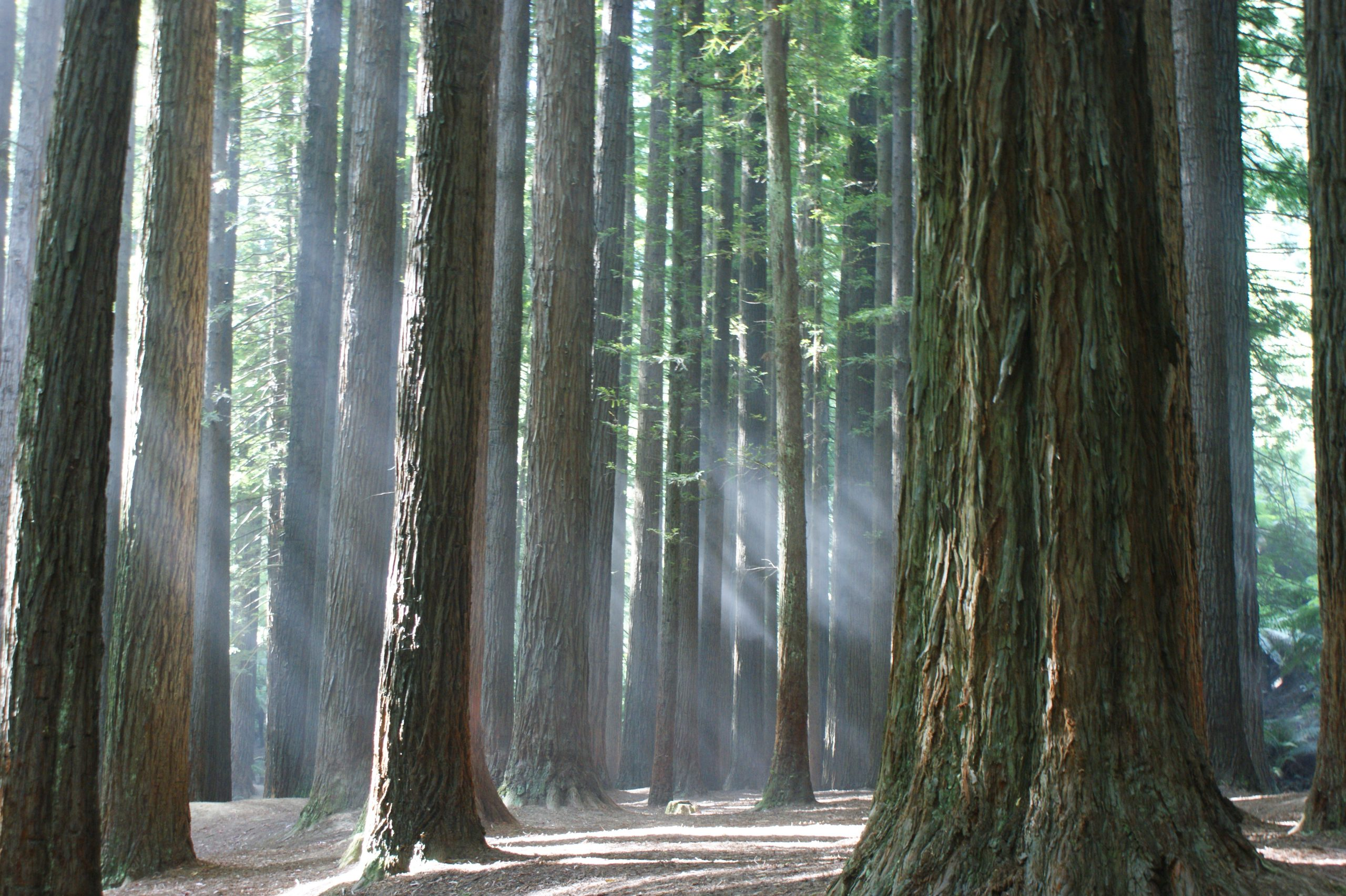 Californian Redwoods