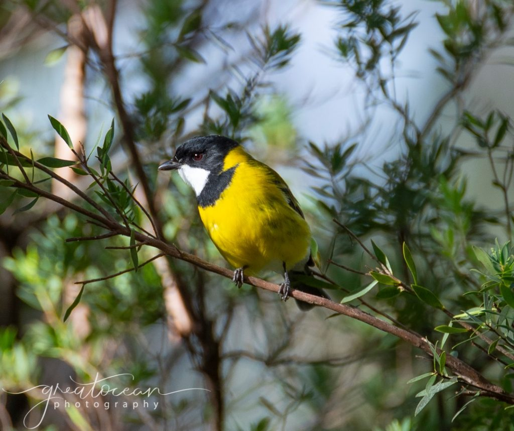 Australian Golden Whistler Great Ocean Photography