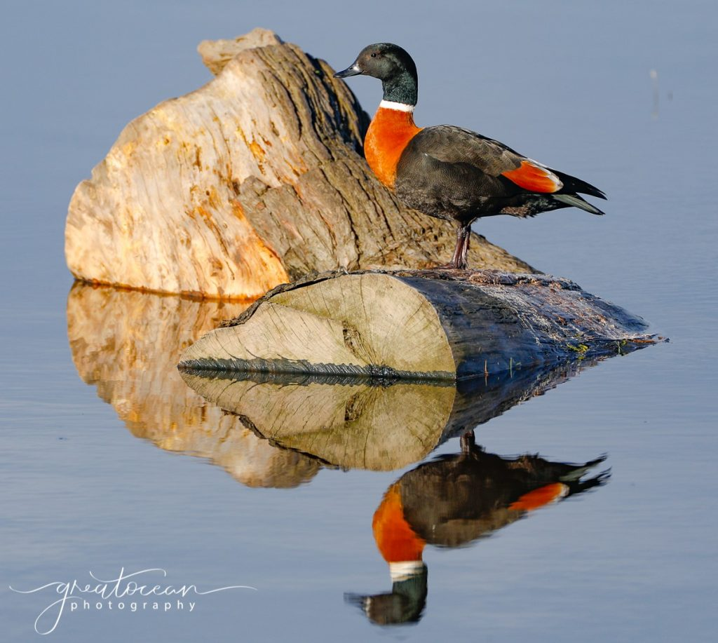 Australian Shelduck Great Ocean Photography