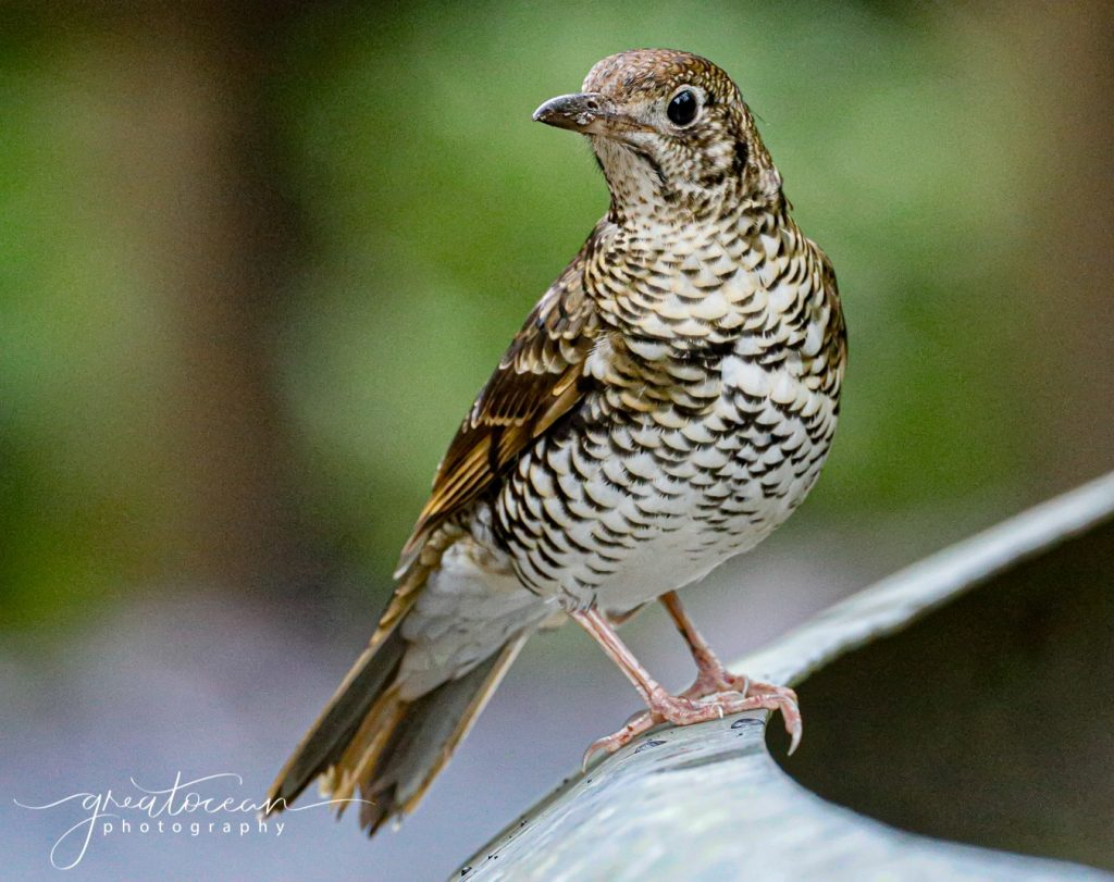 Bassian Thrush Great Ocean Photography