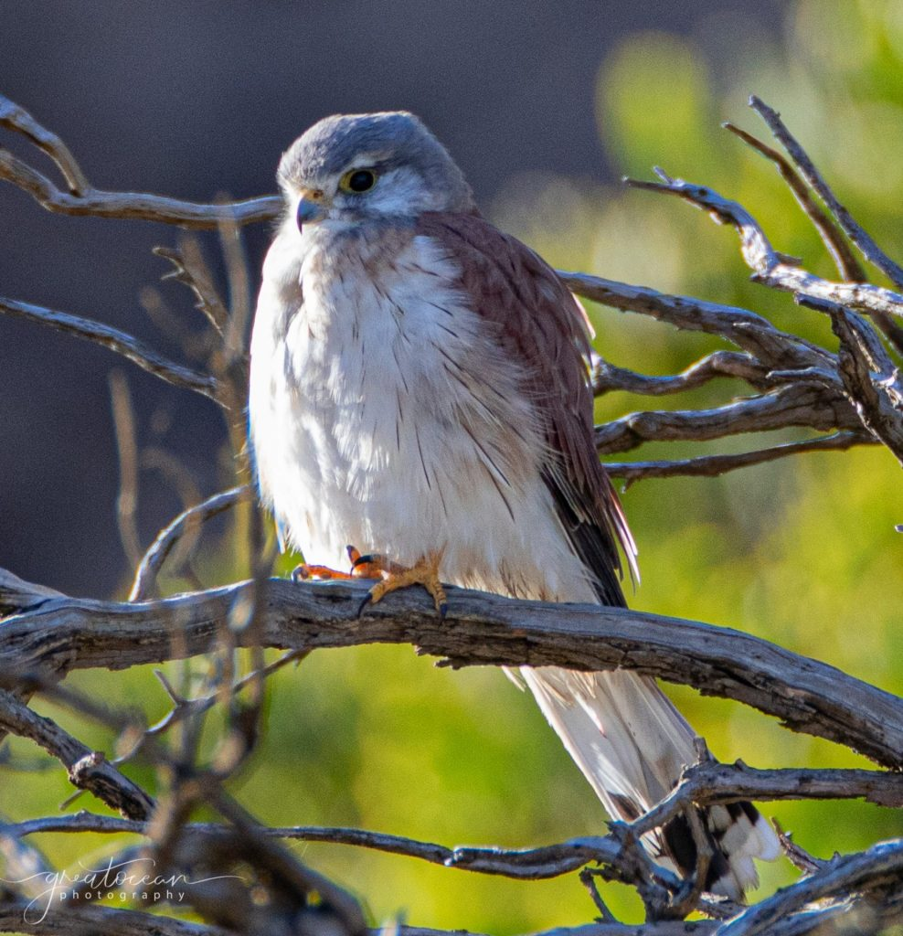 Brown Falcon Great Ocean Photography
