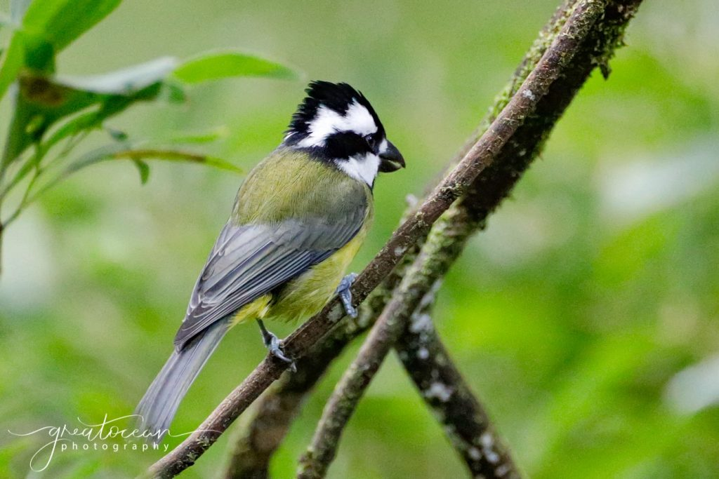 Crested Shrike-tit Great Ocean Photography