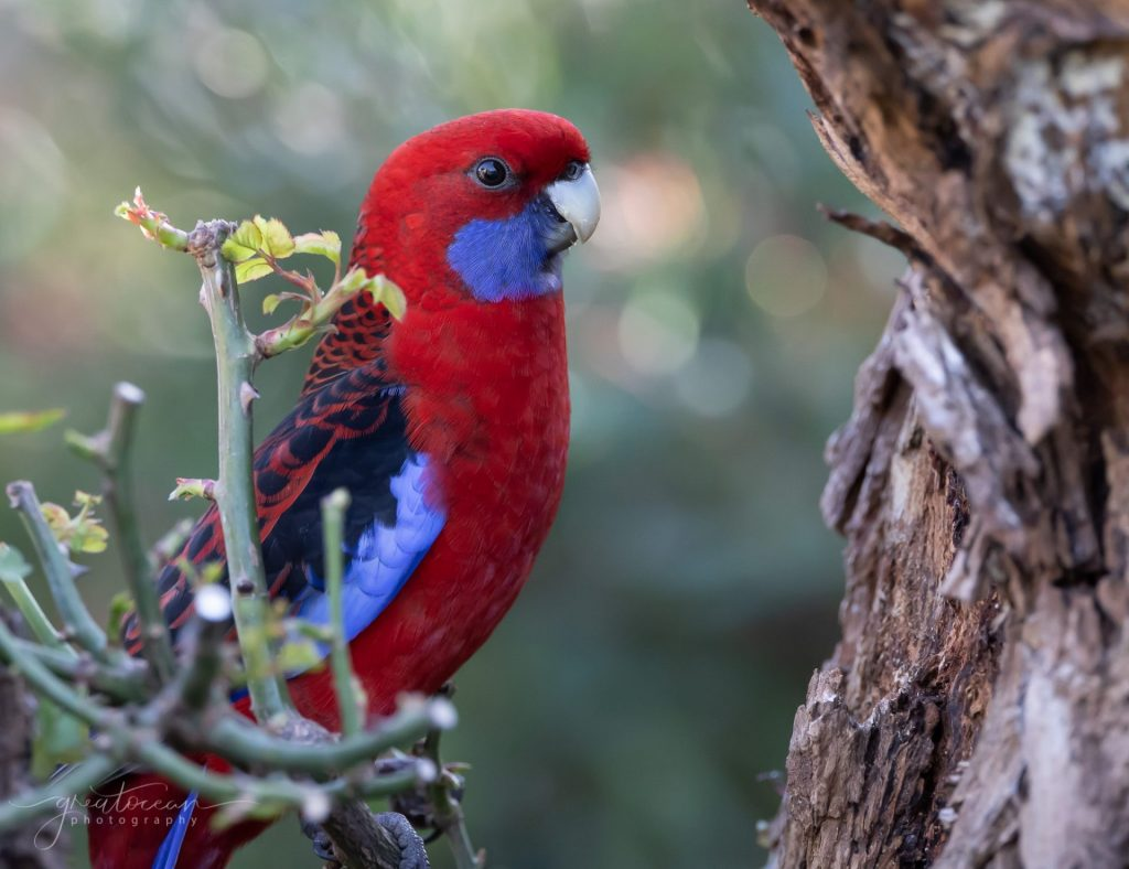 Crimson Rosella Great Ocean Photography