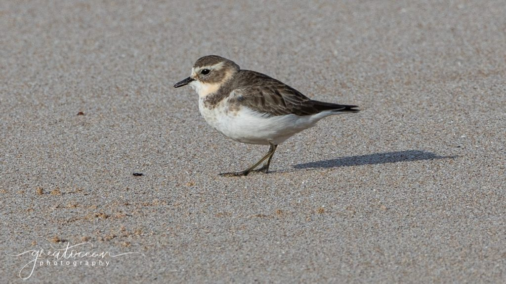 Double-banded Plover Great Ocean Photography