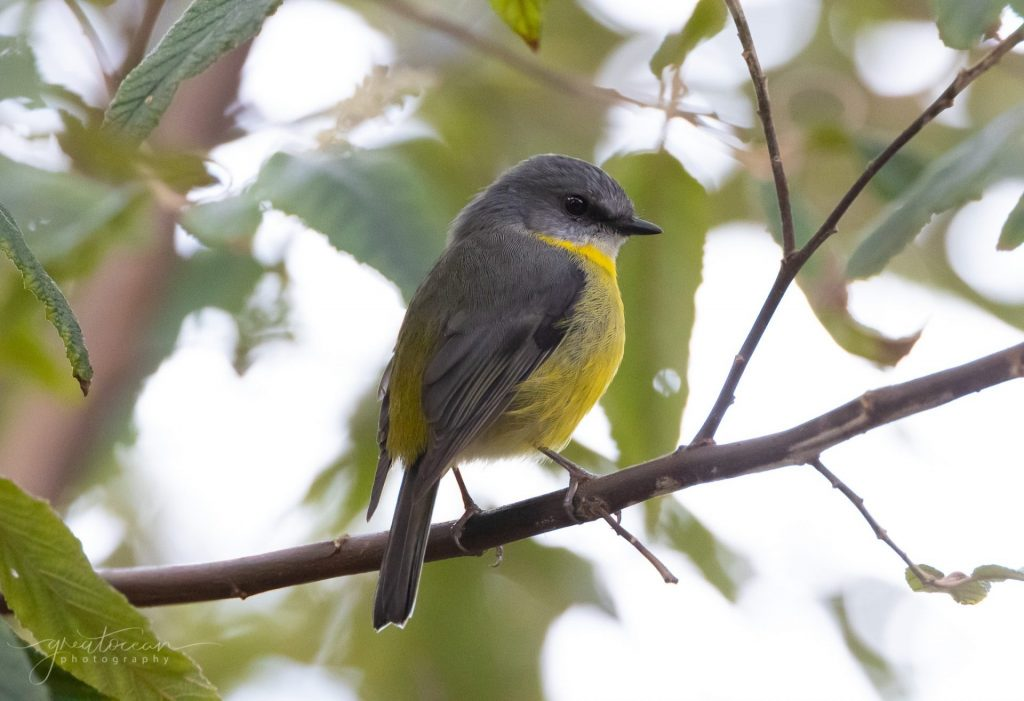 Eastern Yellow Robin Great Ocean Photography