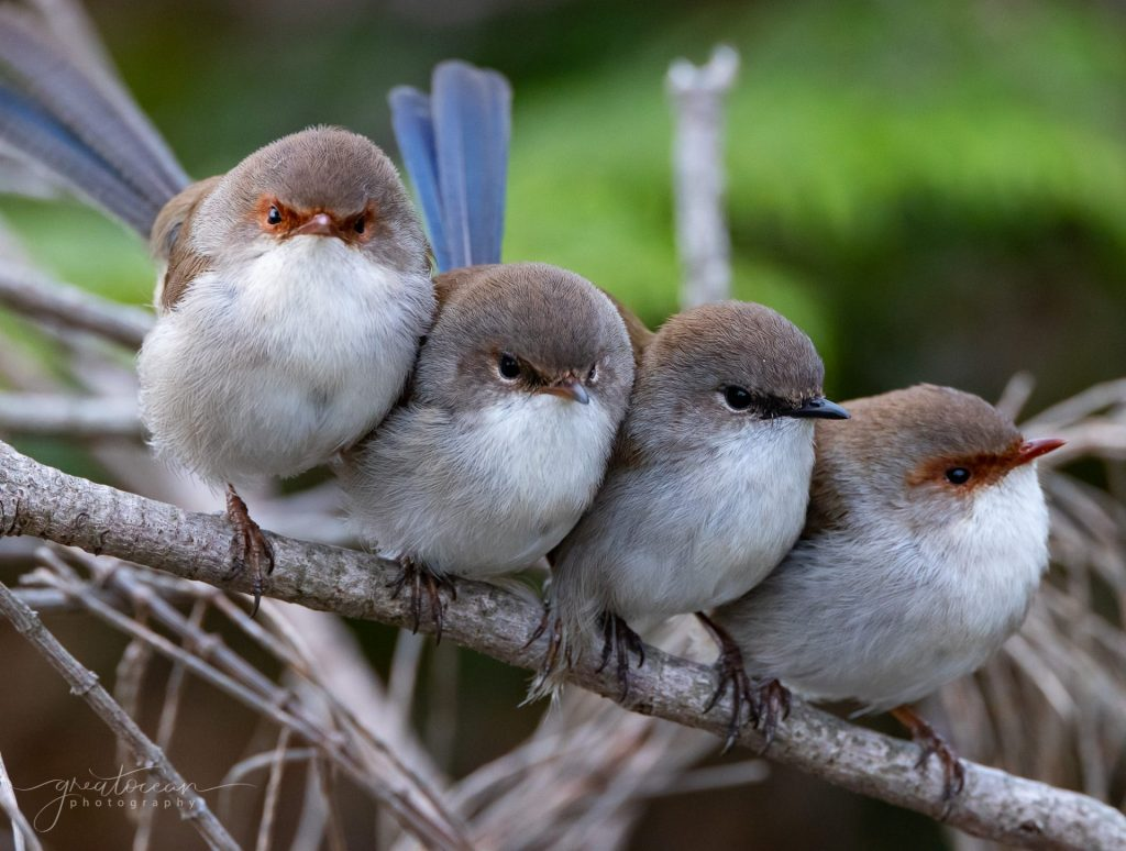 Fairy Wrens Great Ocean Photography