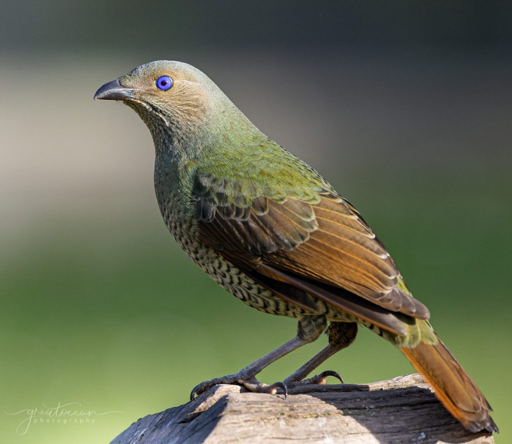 Female Bower Bird Great Ocean Photography
