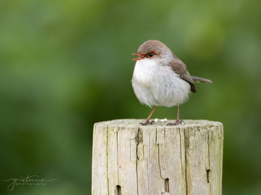 Female Fairy Wren Great Ocean Photography