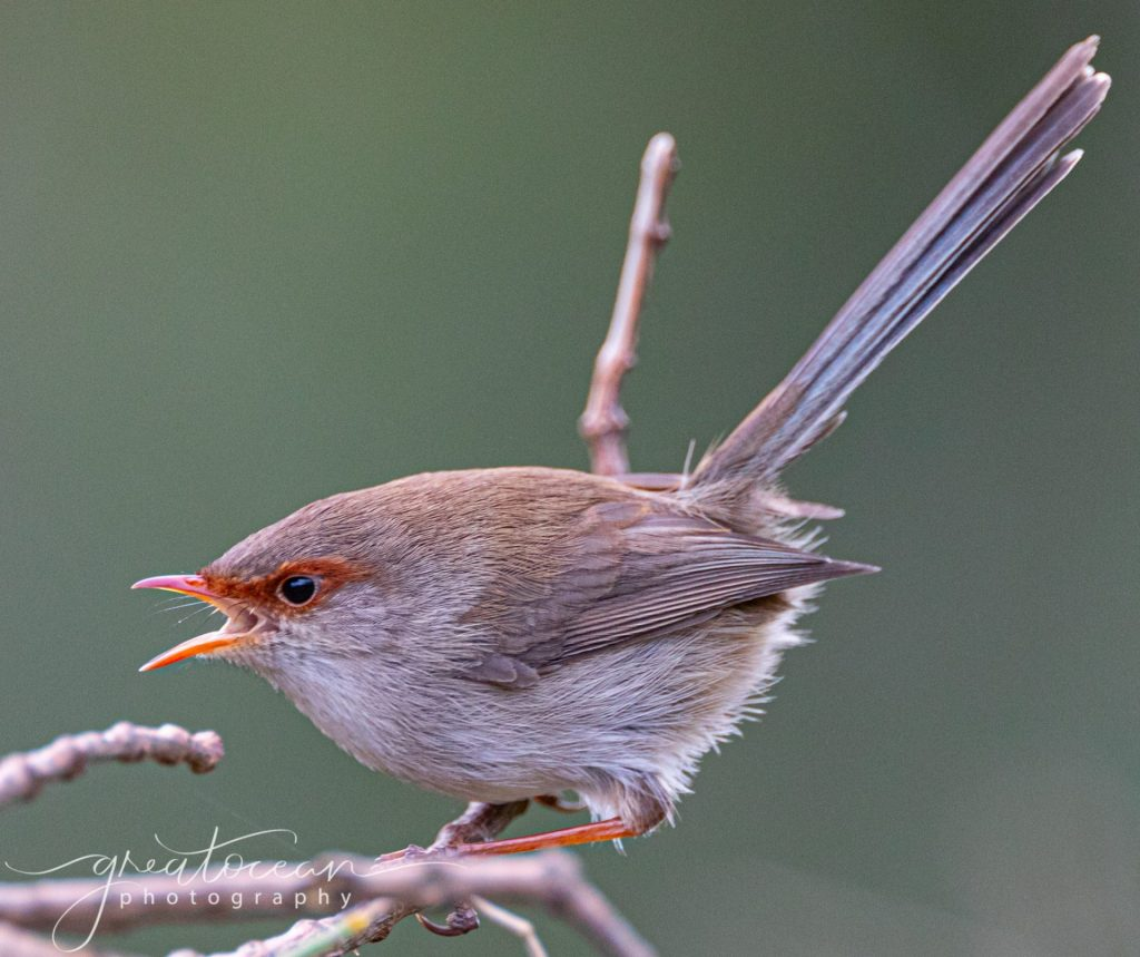 Female Fairy Wren screeching Great Ocean Photography