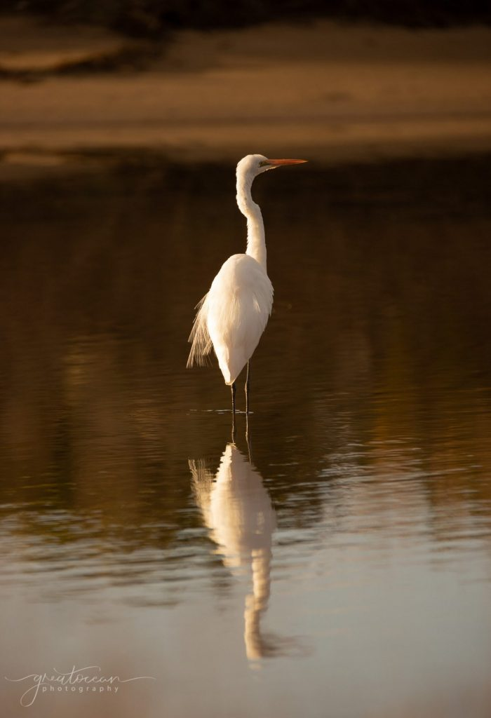 Great Egret Great Ocean Photography