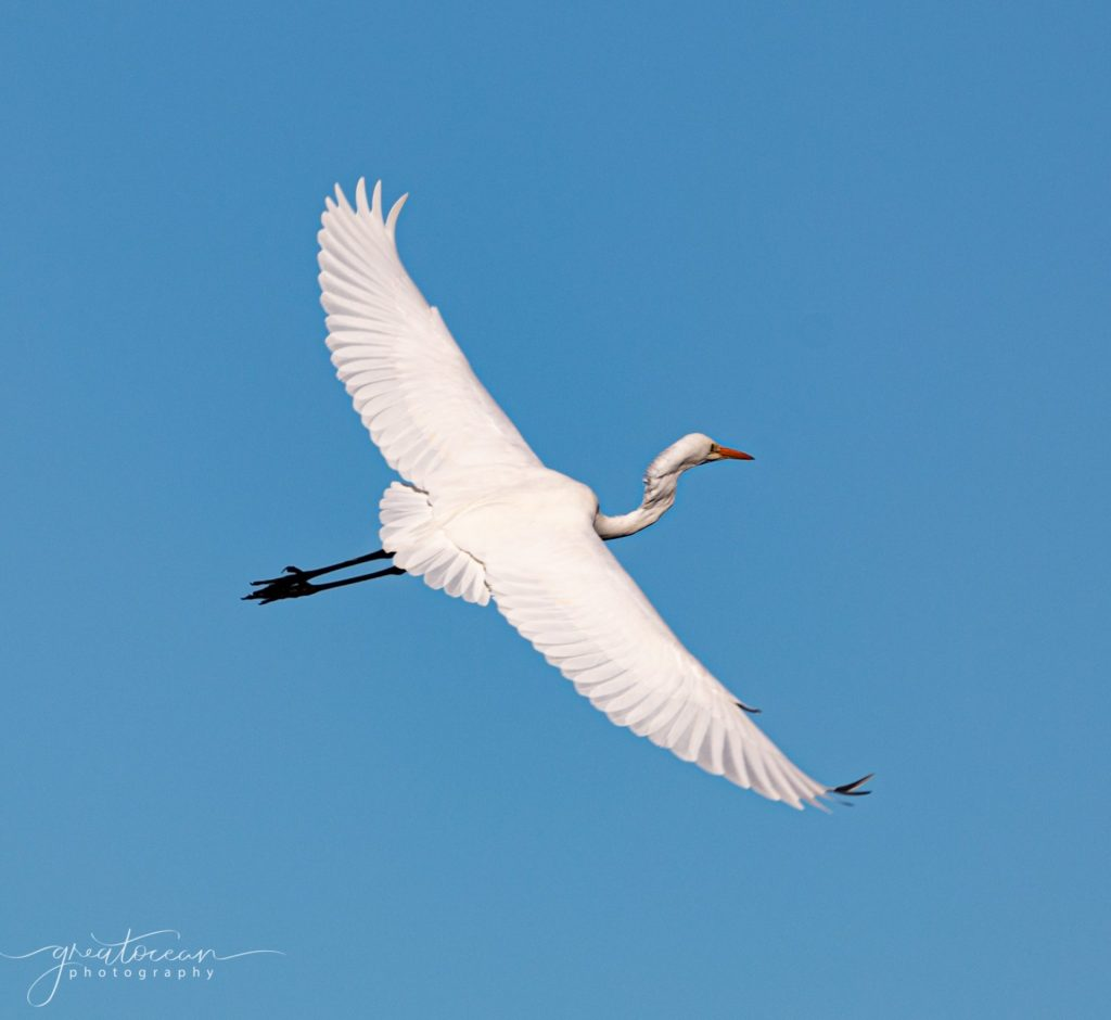 Great Egret in flight Great Ocean Photography
