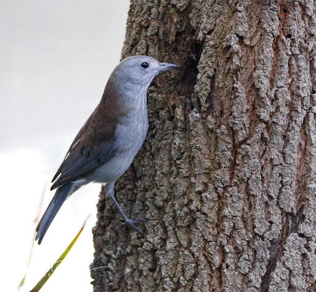 Grey Shrike Thrush Great Ocean Photography
