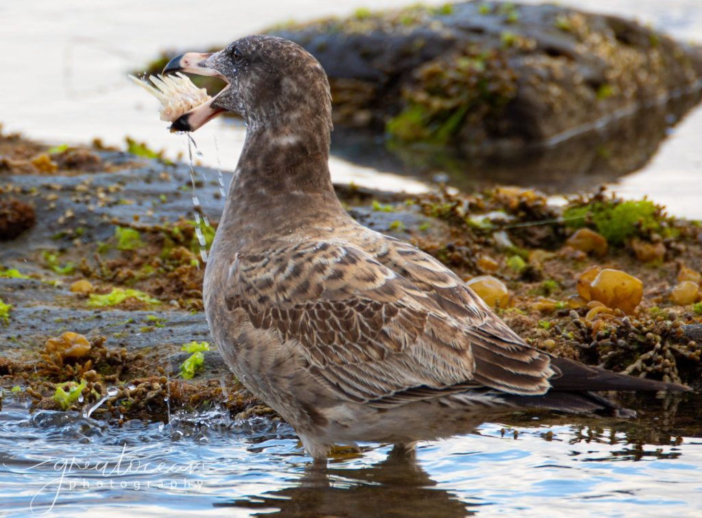Juvenile Pacific Gull Great Ocean Photography