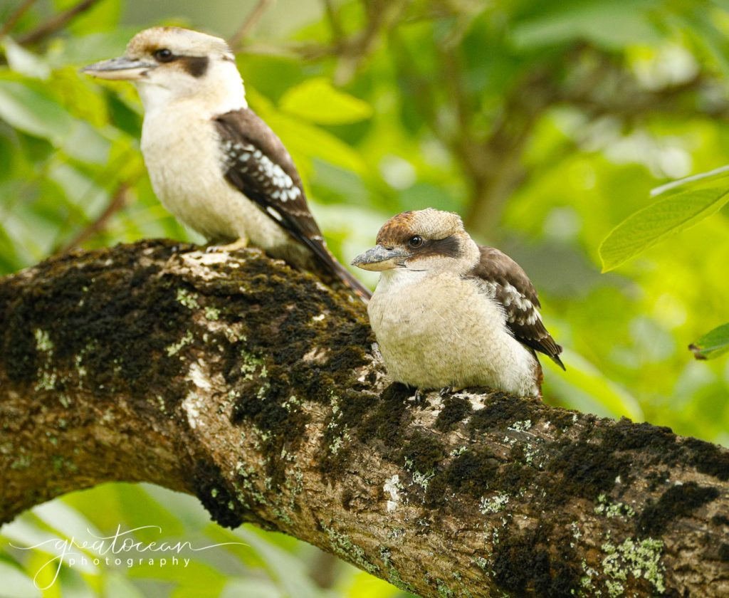Kookaburras Great Ocean Photography
