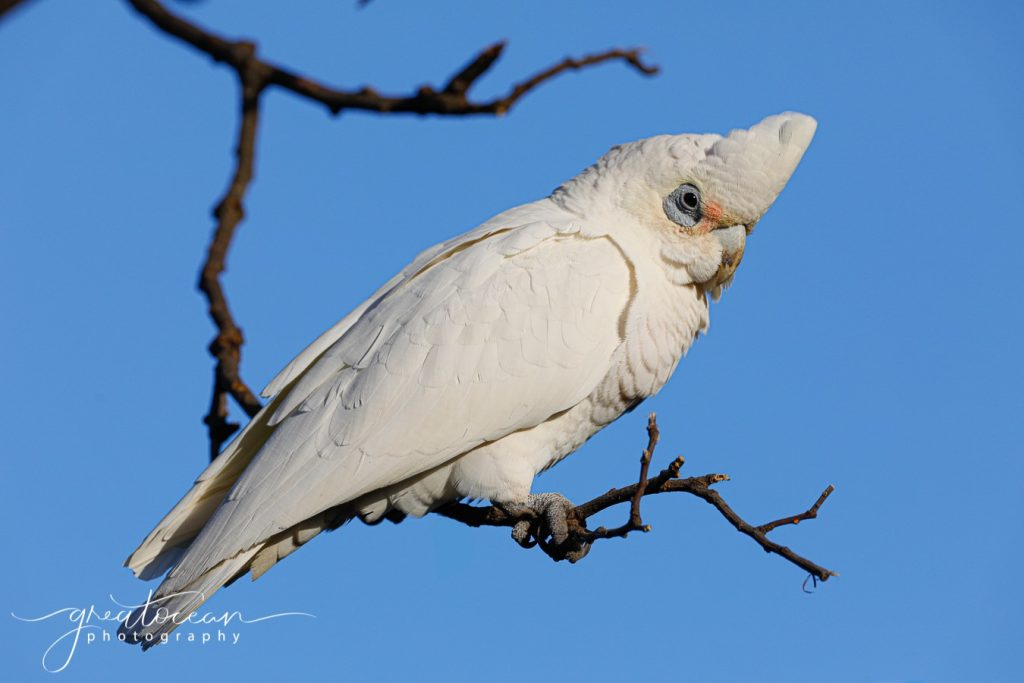 Little Corella Great Ocean Photography