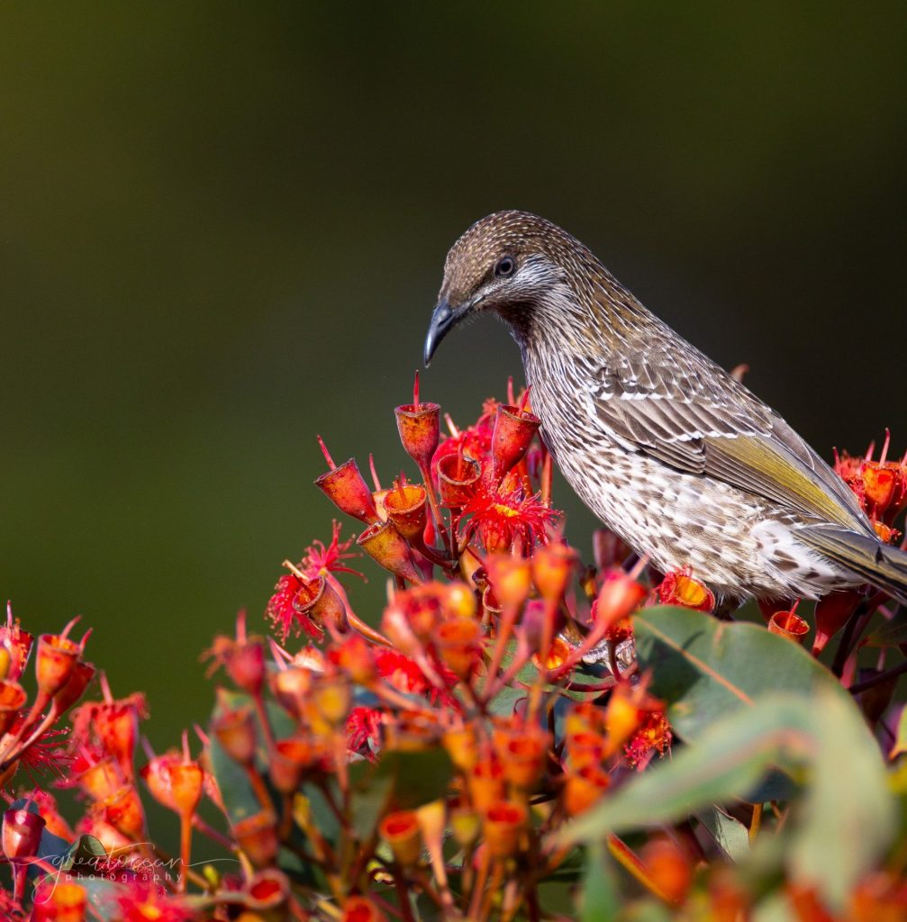 Little Wattle Bird Great Ocean Photography
