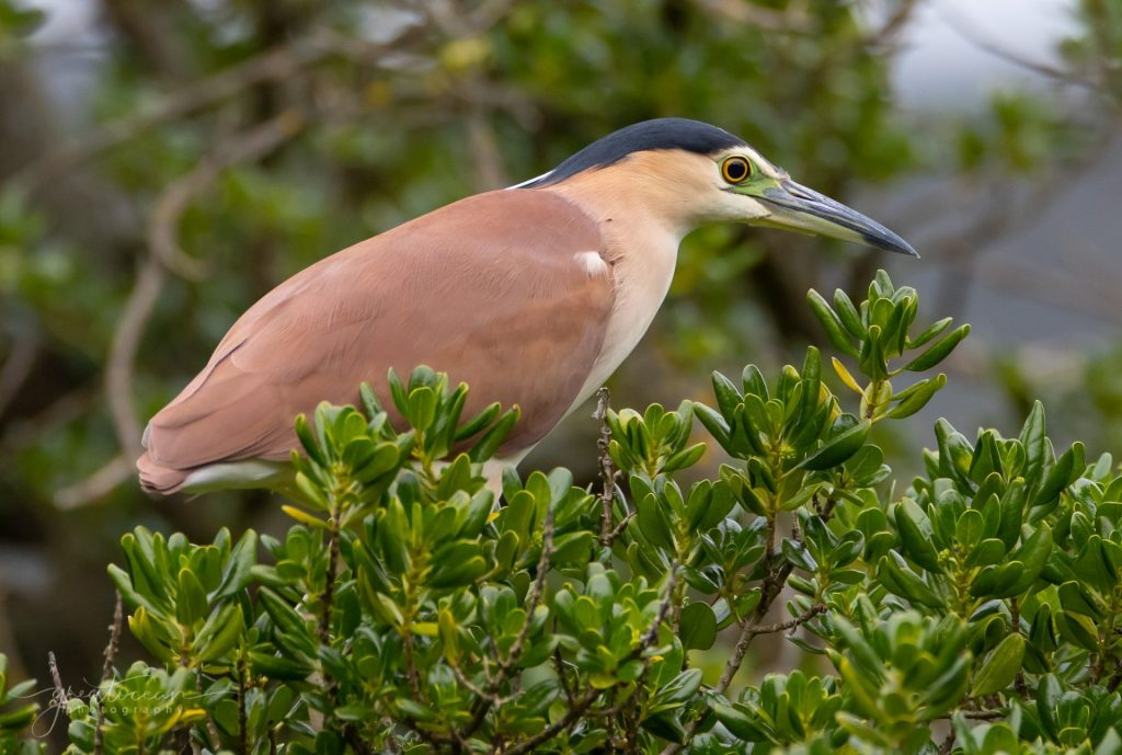 Nankeen Night Heron Great Ocean Photography