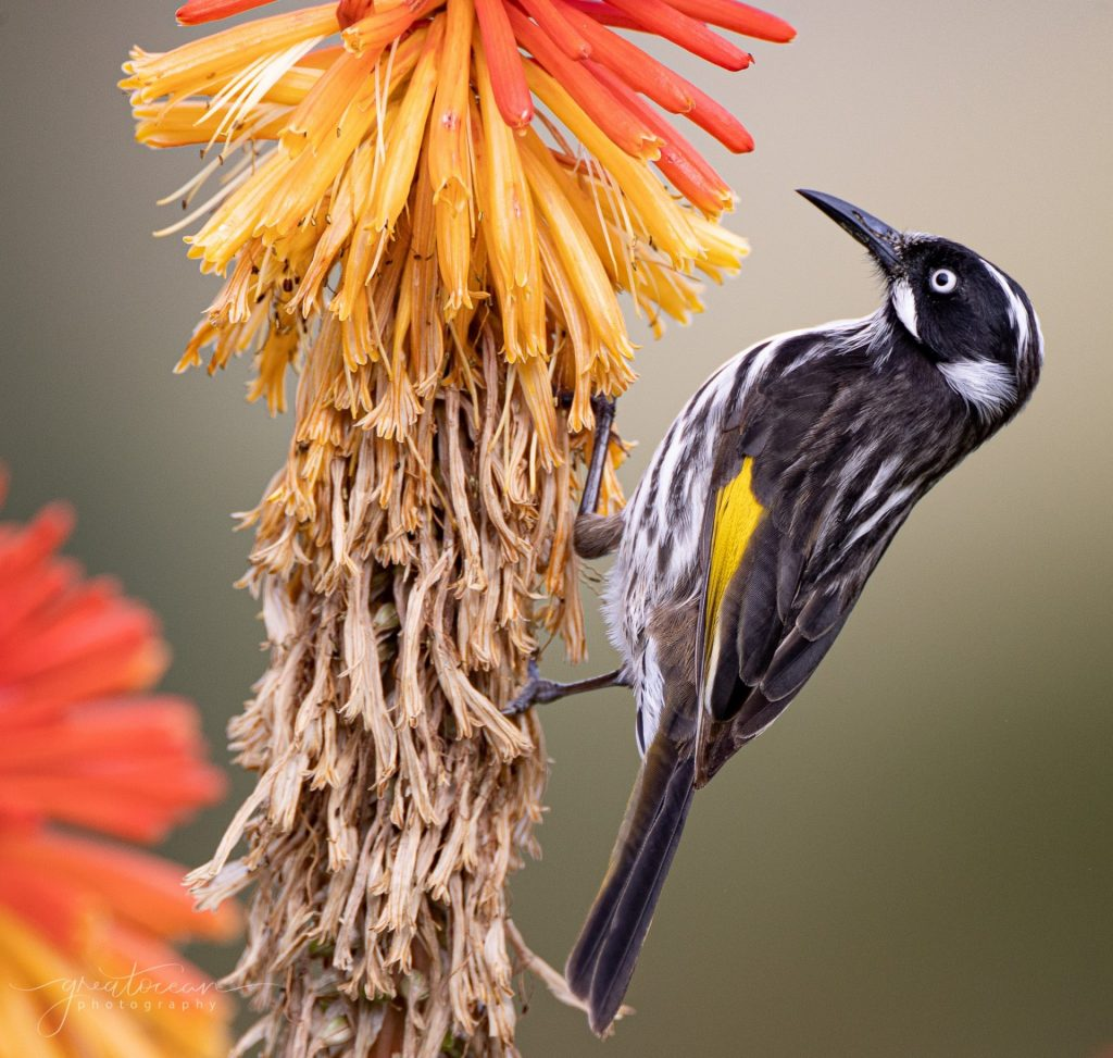 New Holland Honeyeater Great Ocean Photography