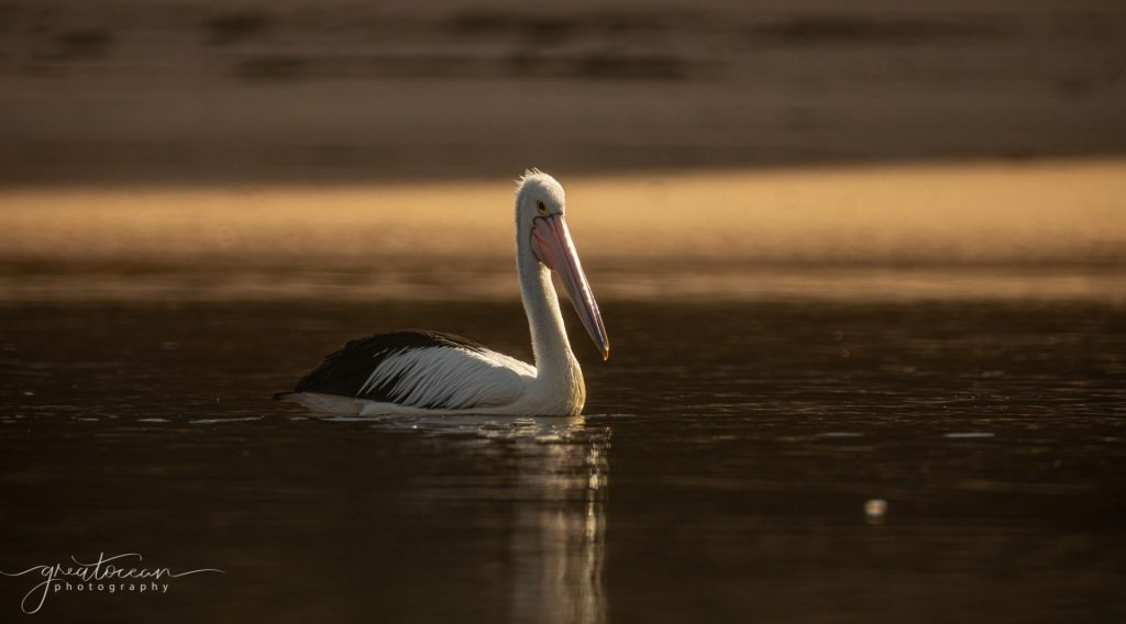 Pelican Great Ocean Photography