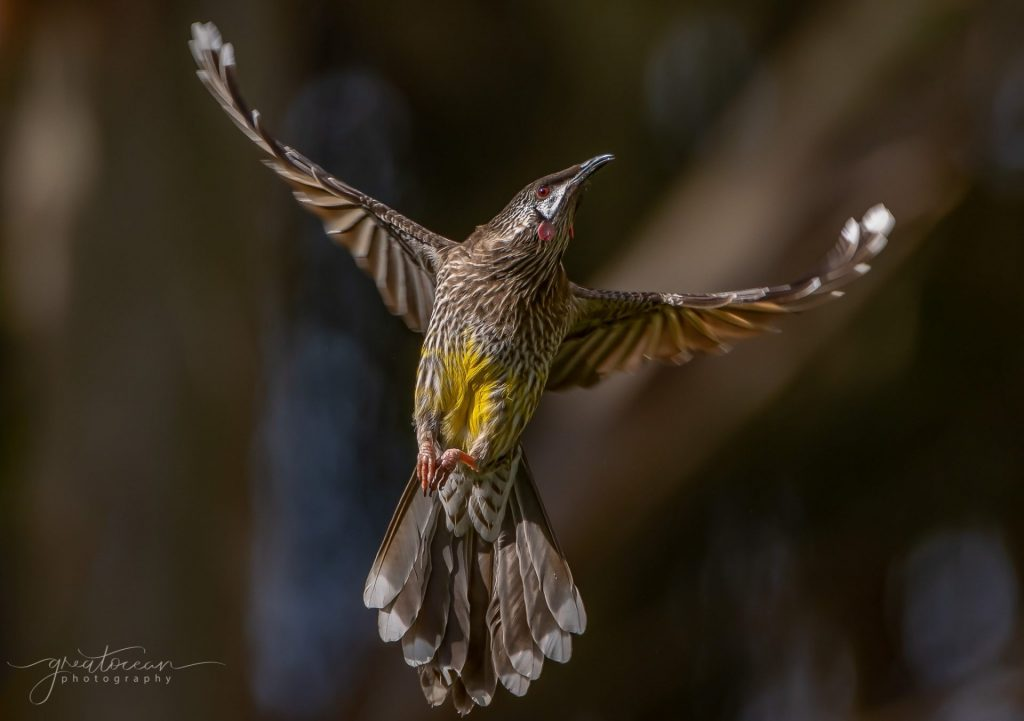 Red Wattle Bird Great Ocean Photography