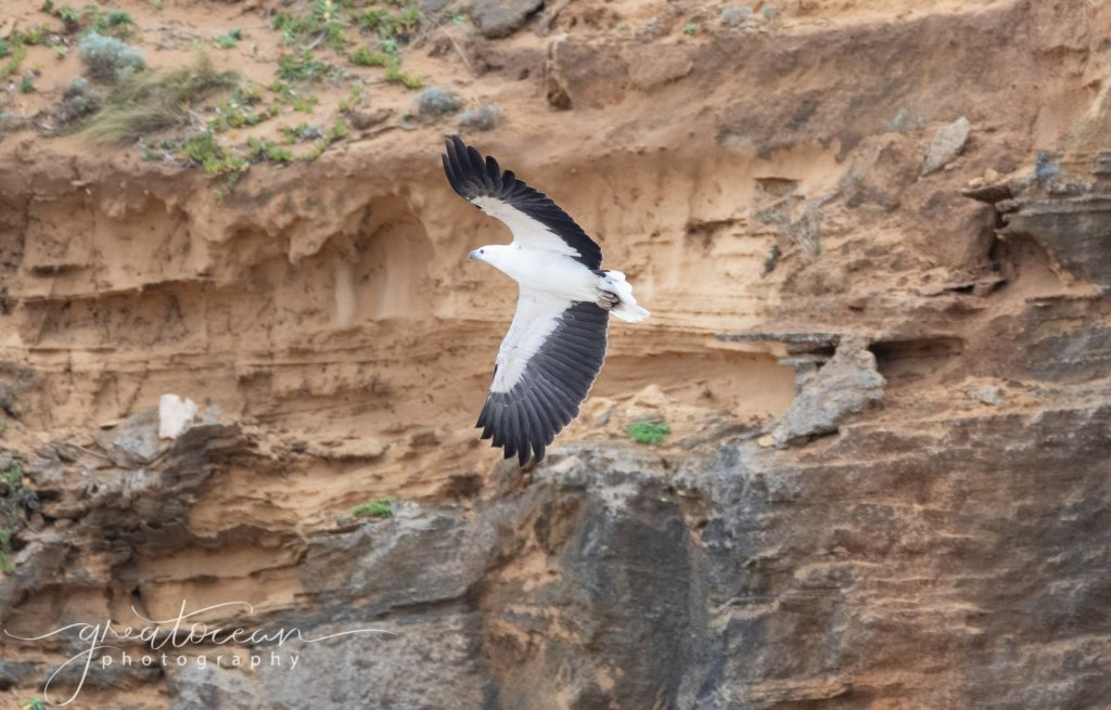 Sea Eagle Great Ocean Photography