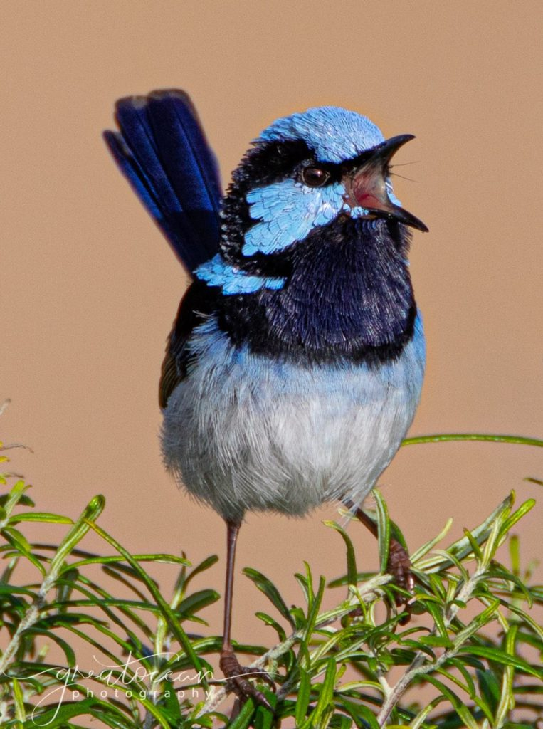 Superb Fairy Wren singing Great Ocean Photography