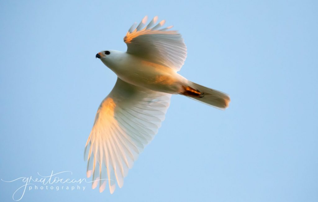 White Goshawk in flight Great Ocean Photography