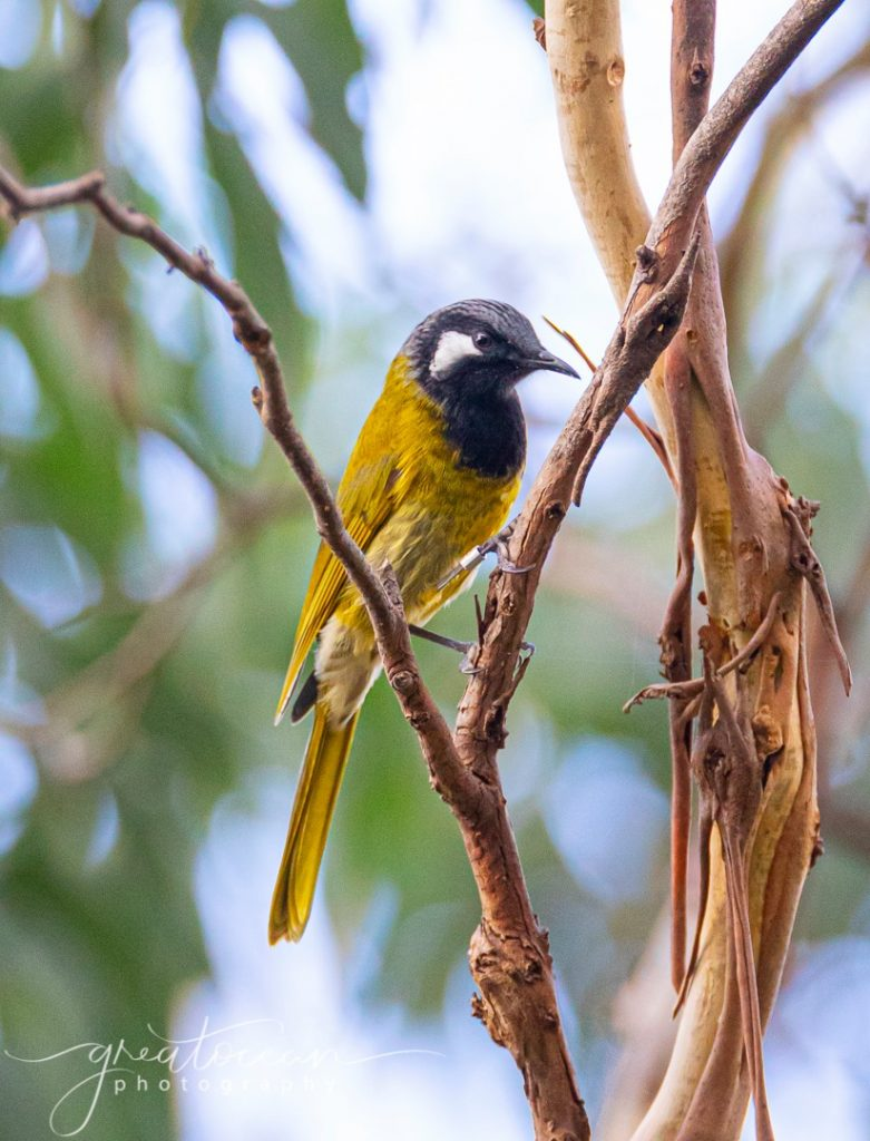 White-eared Honeyeater Great Ocean Photography