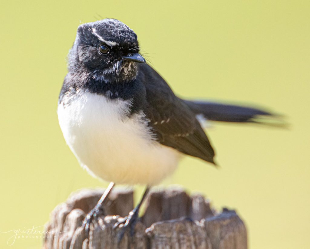 Willy Wagtail Great Ocean Photography