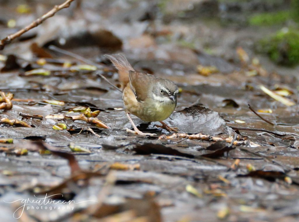 Yellow Rumped Thornbill Great Ocean Photography