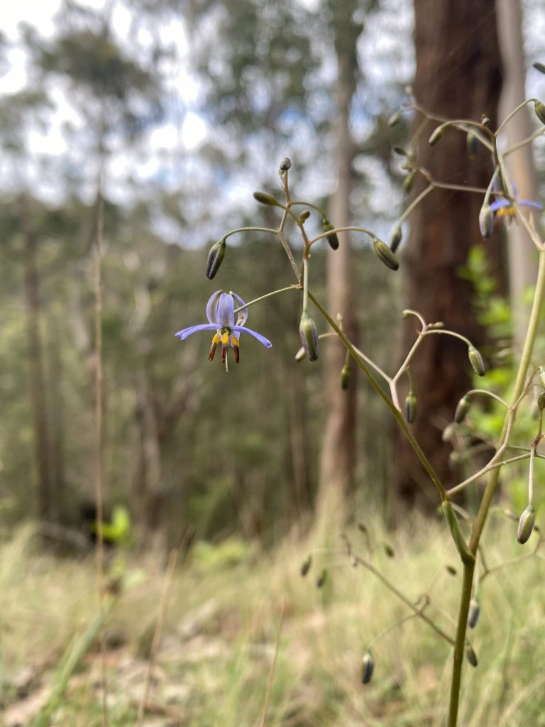 Phantom Falls and The Canyon Walk, Otways Wildflowers 6